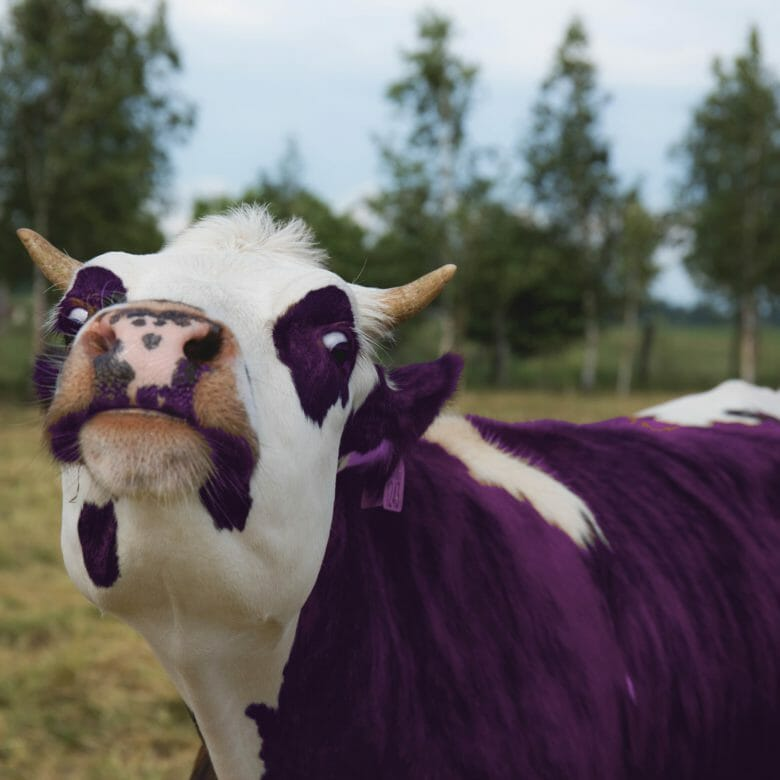 purple-cow